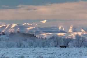 Lone Bison Contrasting A Landscape Of Ice In Front Of The Snake River Mts. Grand Teton NP, Wyoming by Mike Cavaroc