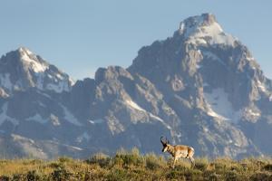 Pronghorn Buck Walking Below The Grand Teton, Grand Teton National Park, Wyoming by Mike Cavaroc