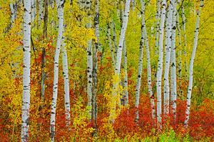 Autumn in Riding Mountain by Mike Grandmaison