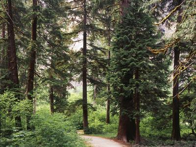 Canada, B.C., Sitka Spruce Forest at Exchamsiks River Provincial Park