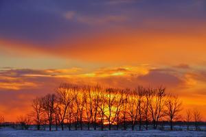 Canada, Manitoba, Altona. Trees at sunrise on the snowy prairie. by Mike Grandmaison