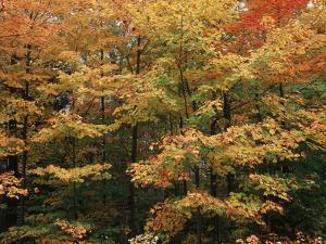 Canada, Ontario, Gravenhurst, Forest in Autumn by Mike Grandmaison