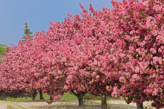 mike-grandmaison-crabapple-blossoms