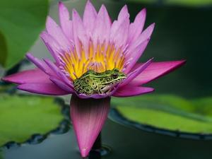 Frog on Waterlily in Urban Pond; Leo Mol Garden; Assiniboine Park, Winnipeg, Manitoba, Canada. by Mike Grandmaison