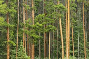 Lodgepole Pines by Mike Grandmaison
