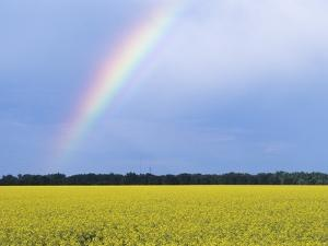 Rainbow and Canola, Morris, Manitoba, Canada by Mike Grandmaison