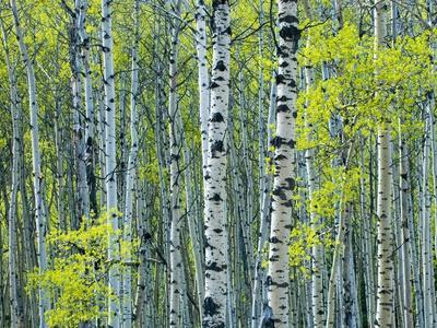 Spring Foliage on Trembling Aspen, Jasper National Park, Alberta, Canada.