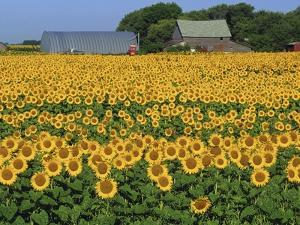 Sunflowers and Farm, Dugald, Manitoba, Canada. by Mike Grandmaison