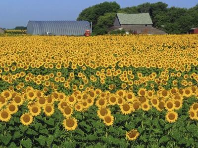 Sunflowers and Farm, Dugald, Manitoba, Canada.
