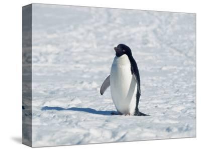 Adelie Penguin in Snow, Antarctica