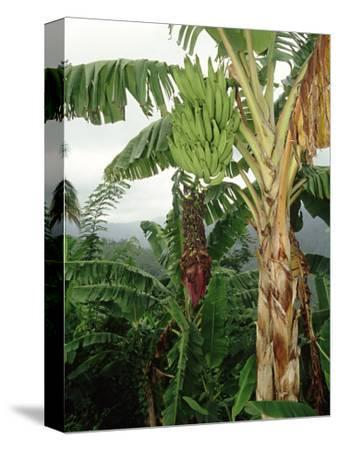 Bananas Cultivated, West Indies