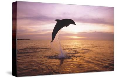 Dolphin, Tursiops Truncatus, Leaping from Surface of the Sea.