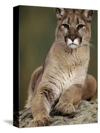 Mountain Lion or Cougar, USA