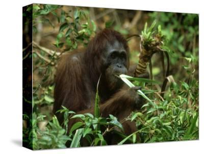 Orangutan, Eating, Borneo