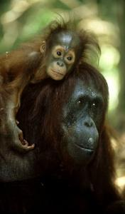 Orangutan, Female and Young, Borneo by Mike Hill