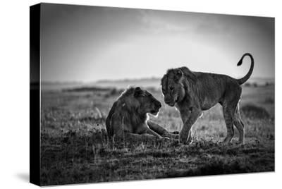 Young Male African Lions Greeting
