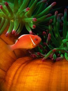 Clown Fish & Anemone, Truk Lagoon by Mike Mesgleski