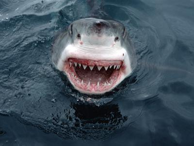 Great White Shark (Carcharodon Carcharias) Close-Up, South Australia by Mike Parry/Minden Pictures