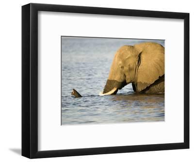 African Elephant, Adult in Water, Botswana