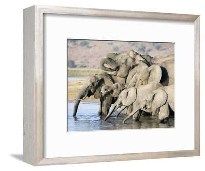 African Elephant, Family Drinking, Botswana