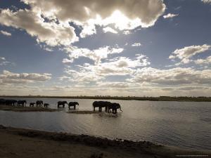 African Elephant, Herd Drinking, Botswana by Mike Powles