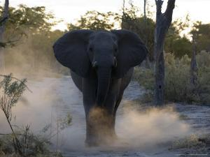 African Elephant, Male Threat Display, Botswana by Mike Powles