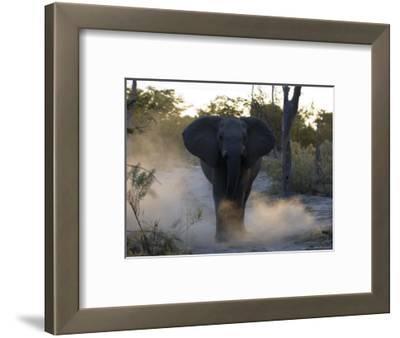 African Elephant, Male Threat Display, Botswana