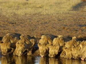 African Lions, Family Drinking, Botswana by Mike Powles