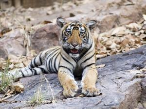 Bengal Tiger, 10 Month Old Cub, India by Mike Powles