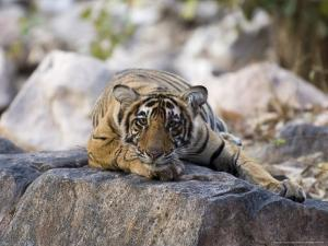 Bengal Tiger, 10 Month Old Cub Lying, India by Mike Powles
