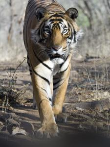 Bengal Tiger, 3 Year Old Male, India by Mike Powles