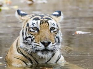 Bengal Tiger, Female in Water, India by Mike Powles