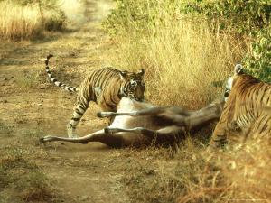 Bengal Tiger, Males Killing Sambar, India by Mike Powles