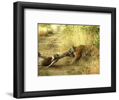 Bengal Tiger, Males Killing Sambar, India
