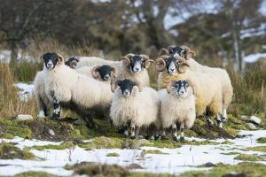 Black-Faced Sheep, Group in Snow, Scotland by Mike Powles