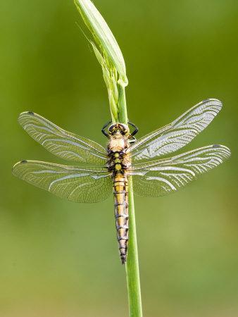 Black Tailed Skimmer Dragonfly, Female Drying, UK