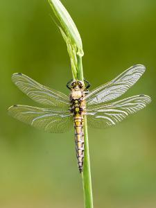 Black Tailed Skimmer Dragonfly, Female Drying, UK by Mike Powles