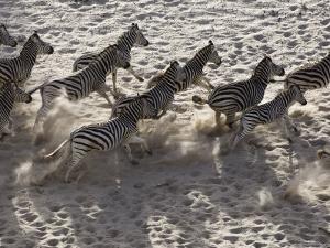 Burchells Zebra, Group from Above, Botswana by Mike Powles