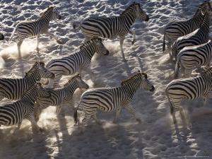 Burchells Zebra, Group Running, Botswana by Mike Powles