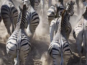 Burchells Zebra, Group Running in Dust, Botswana by Mike Powles