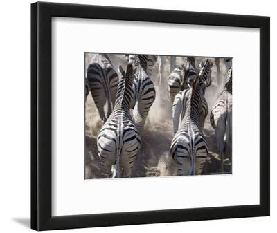 Burchells Zebra, Group Running in Dust, Botswana