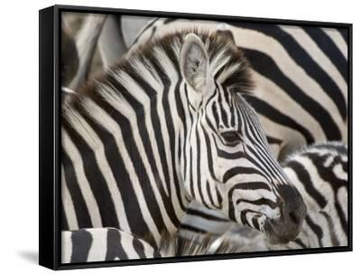 Burchells Zebra, Head, Botswana