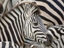 Burchells Zebra, Head, Botswana-Mike Powles-Photographic Print