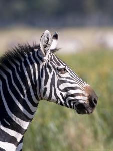 Burchells Zebra, Stallion Head Profile, Kenya by Mike Powles