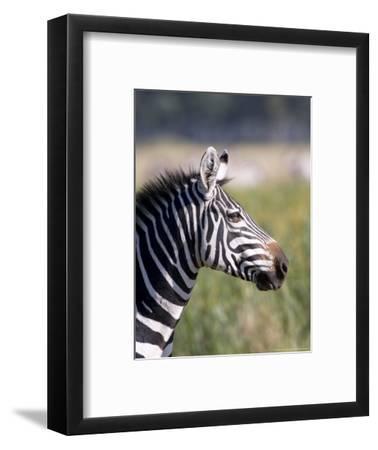 Burchells Zebra, Stallion Head Profile, Kenya