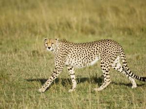 Cheetah, Female Striding, Maasai Mara, Kenya by Mike Powles
