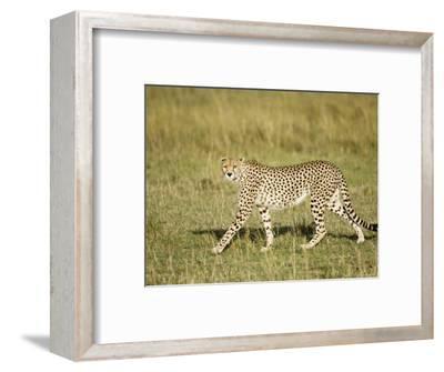 Cheetah, Female Striding, Maasai Mara, Kenya