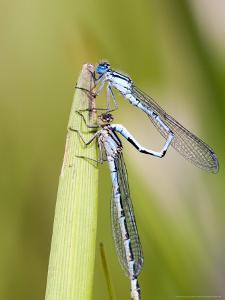 Common Damselfly, Male and Female Pre Wheel Position, UK by Mike Powles