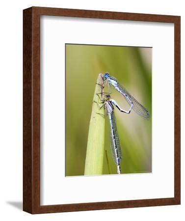 Common Damselfly, Male and Female Pre Wheel Position, UK
