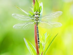 Common Hawker, Newly Emerged Male on Plant, UK by Mike Powles